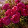 """American Legacy Fine Arts presents """"Rose Cluster"""" a painting by Jean LeGassick."""